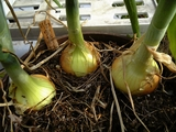 鉢植えタマネギ