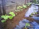 区民農園エダマメサトイモ2011.05.27