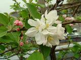 フジリンゴ開花2012.04.21