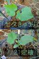 「七夕きゅうり」定植2017.07.21