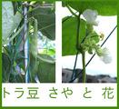 トラ豆サヤと花2013.10.01