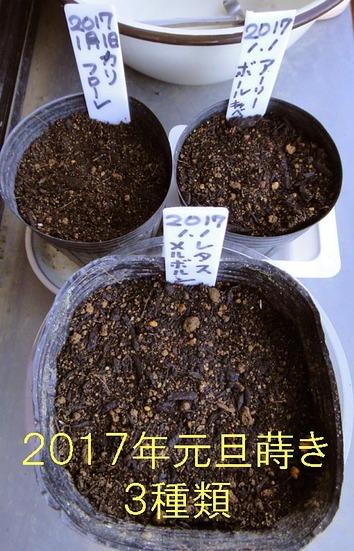 元旦3種蒔き2017.01.01.