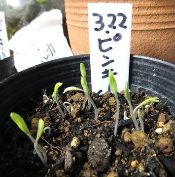 自家採種ピンキー発芽2017.03.31