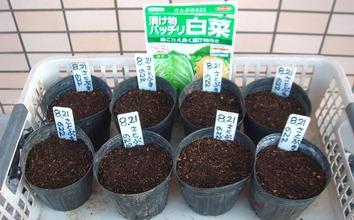 白菜種蒔き202.08.21