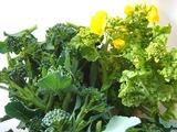 菜花スティックブロッコリー収穫2010.02.21.jpg