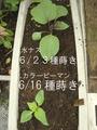 定植ピーマン茄子2011.07.30