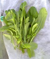 自家採種小松菜収穫9.28