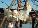 暖地サクランボ開花2013.03.09