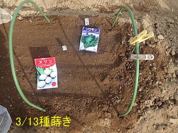 かぶ種蒔き2020.03.13