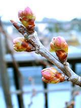 サクランボ2010.02.26.jpg