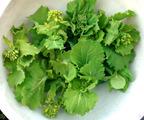 菜花収穫201103.25