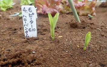 トウモロコシ発芽2020.04.21