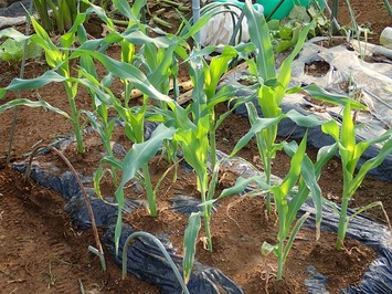 秋採りトウモロコシ