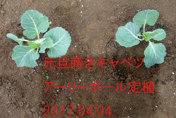 キャベツ定植2017.04.04