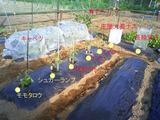 トマト定植2011.05.22