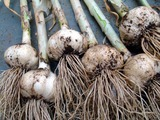 プランター栽培ニンニク収穫2012.05.27