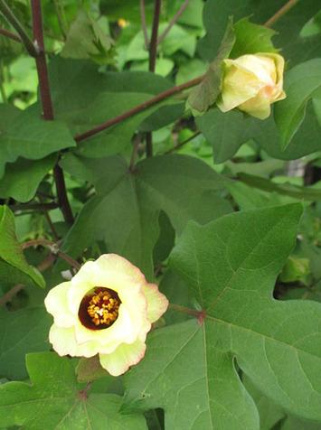 コットンの花2016.07.26