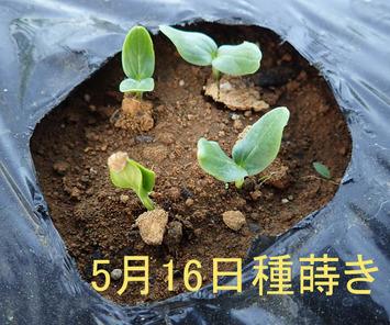 青大発芽2018.05.20.