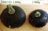 カボチャ収穫NO.2.3-09.07.21.jpg