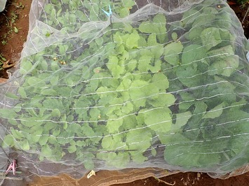 葉物野菜2010.10.14