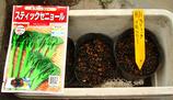 スティックブロッコリー種まき09.08.01.jpg