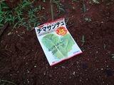 チマサンチュ種まき08.08.11.jpg