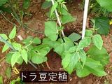 2012.08.09.トラ豆定植