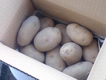 シンシア種芋2020.02.12