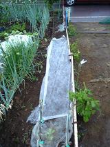 ホウレンソウ種9.25蒔き