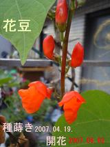 花豆開花07.06.02.