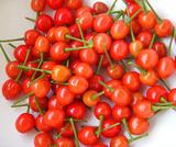 暖地サクランボ収穫09.05.01.jpg
