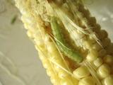 害虫トウモロコシ2011.07.16