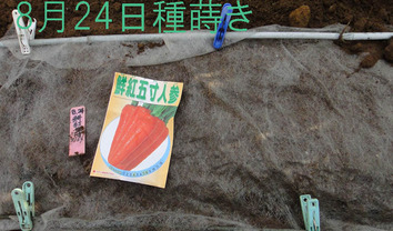 鮮紅5寸ニンジン種蒔き2017.08.24