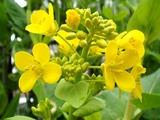 ハクサイ開花2010.04.09.jpg