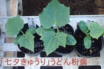 「七夕きゅうり」 udonnko2019.07.27