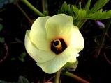 オクラ開花