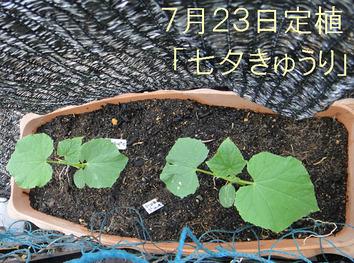 「七夕きゅうり」定植2017.07.23