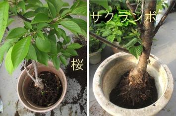 桜サクランボ土替え2014.05.06.jpg