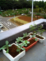定植キャベツブロッコリー
