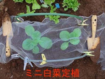 ミニ白菜定植2018.10.04
