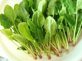 ホウレンソウ収穫2011.04.26