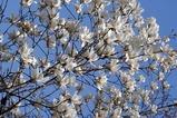 春の花11