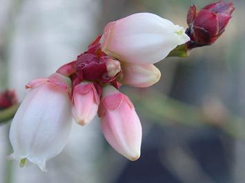 ブルーベリー狂い咲き2017.12.26
