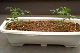 こぼれ種トマト