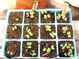 発芽キャベツブロッコリー2010.03.20.jpg