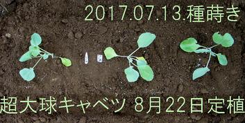 超大球キャベツ定植2017.08.22