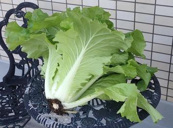 山東菜1.2kg