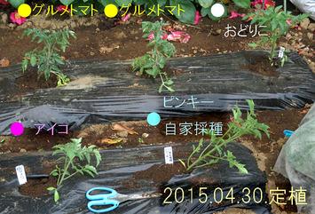 トマト定植2015.04.30