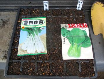 チンゲン菜2016.1.6