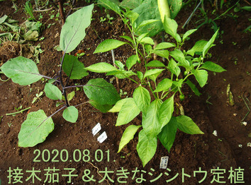 接木茄子シシトウ定植2020.08.01